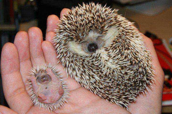 Four-Toed Hedgehog or African Pygmy Hedgehog (Atelerix albiventris).